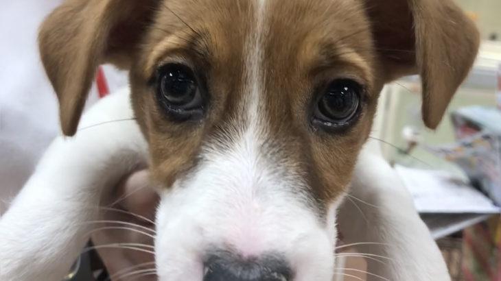 ペットショップで見たジャックラッセルテリアの子犬