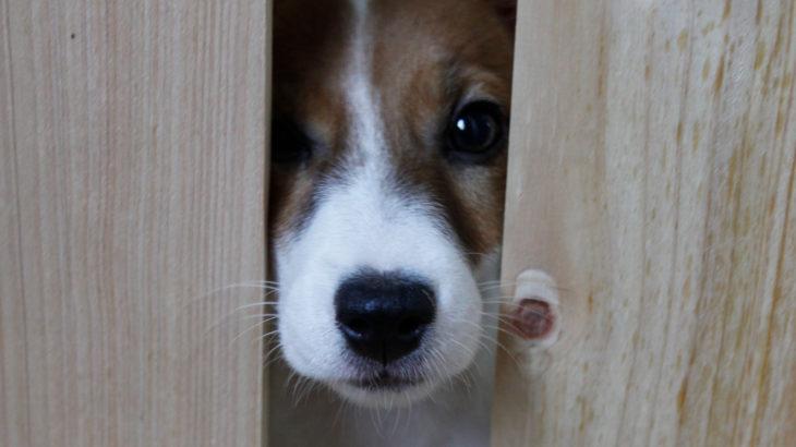 ゲージから顔を出す子犬テバちゃん