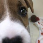 ジャックラッセルテリア の 子犬 との出会い