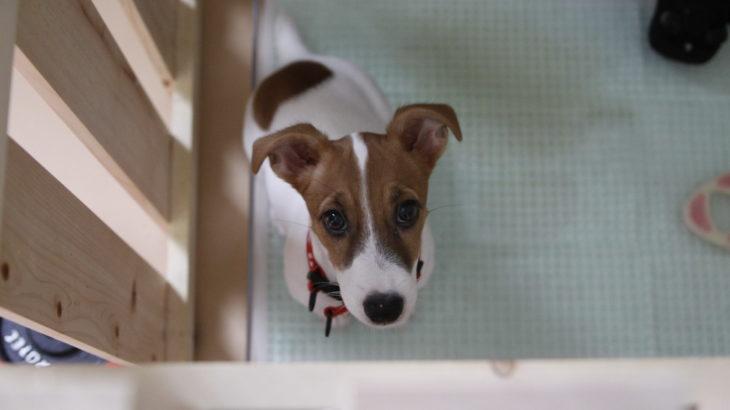 おすわりするジャックラッセルの子犬テバちゃん