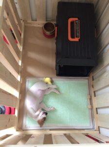 トイレで寝る子犬テバちゃん