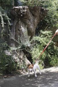 樹齢500年のオリーブと子犬テバちゃん