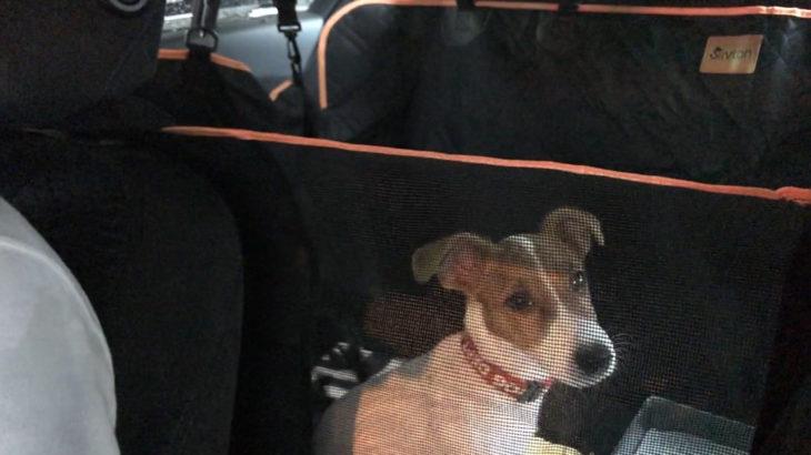 初ドライブで緊張のJRT子犬テバちゃん