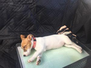 車で寝るジャックラッセルテリアの子犬