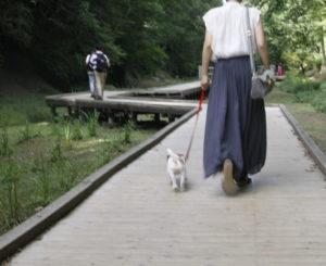 木道を歩くJRT子犬のテバちゃん