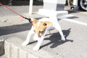 歩くのを嫌がる子犬のテバちゃん