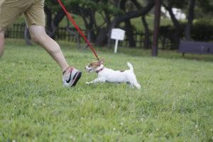 駆け回るジャックラッセルテリアの子犬テバちゃん