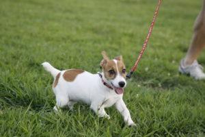 笑顔で走るジャックラッセルテリアの子犬テバちゃん