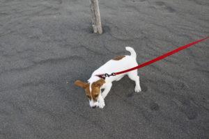 初めて海岸を歩く子犬のテバちゃん