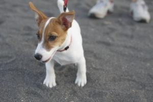 砂浜にたたずむ子犬のテバちゃん