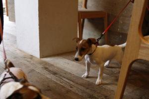 ジャックラッセルテリア仲間に興奮する子犬テバちゃん
