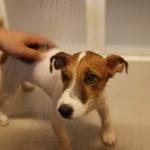 子犬のテバちゃん初めてのお風呂!お風呂の入れ方や頻度は?注意点は?