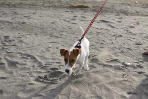 材木座海岸の砂浜に足を踏み入れた子犬テバちゃん