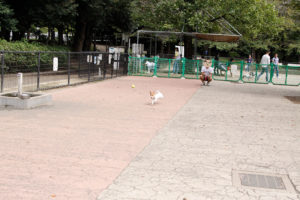 駒沢公園ドッグランでボールを追いかける子犬テバちゃん