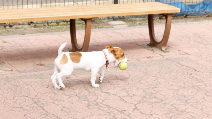 ボールを咥えて走る子犬