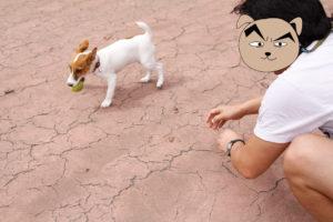 ボールを渡さない子犬テバちゃん