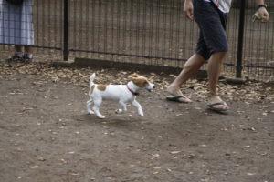 代々木公園ドッグランの子犬テバちゃん