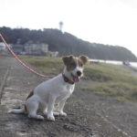 江の島(神奈川県藤沢市)~子犬とおでかけ~