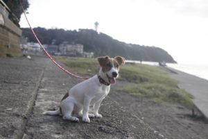 江の島と灯台と子犬テバちゃん