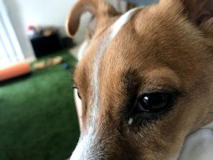 取ってあげてもすぐ目ヤニがわき出る子犬テバちゃん
