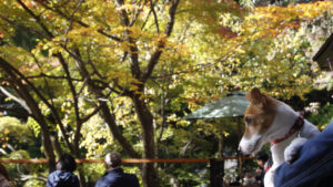 紅葉に包まれるテラス席の子犬テバちゃん