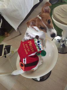 サンタ衣装の子犬テバちゃん