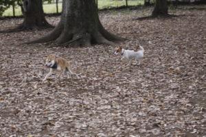 柴犬と走るテバちゃん