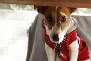 テーブルの下からテバちゃん